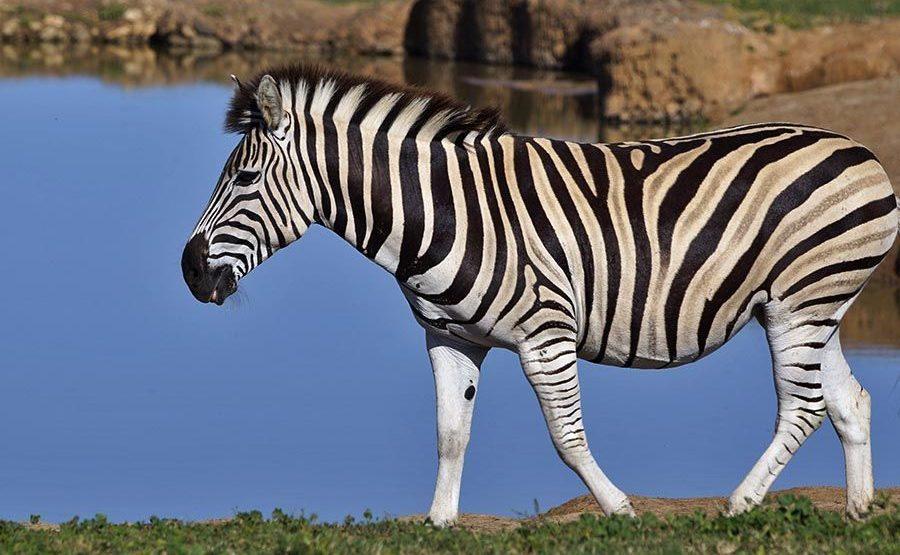 ASC-Benny-Rebel-Fotoreise-Suedafrika-Zebra
