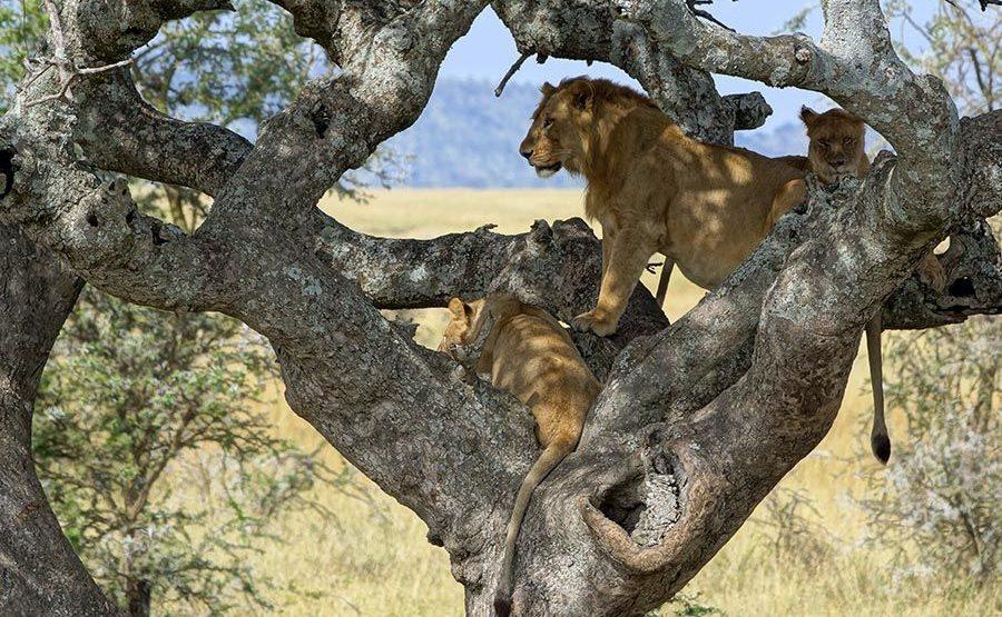 ASD-Benny-Rebel-Fotoreise-Tansania-Loewe