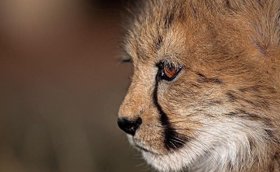 ATA-Benny-Rebel-Fotoreise-Suedafrika-Gepard