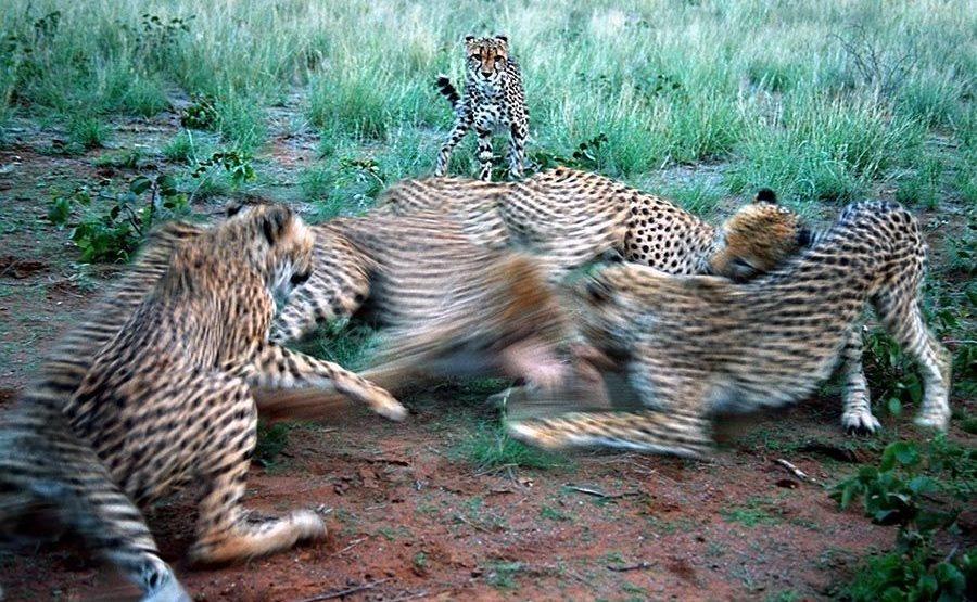 AVBA-Benny-Rebel-Fotoreise-Namibia-Gepard