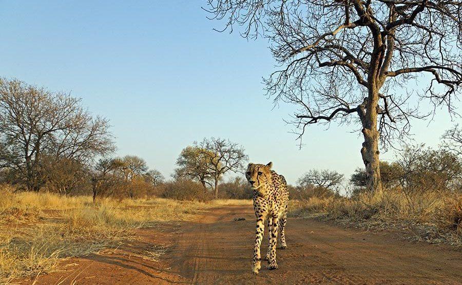 AVQ-Benny-Rebel-Fotoreise-Suedafrika-Gepard-1