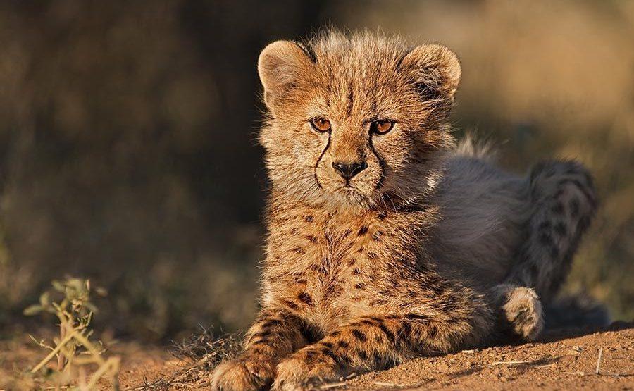 AWA-Benny-Rebel-Fotoreise-Suedafrika-Gepard