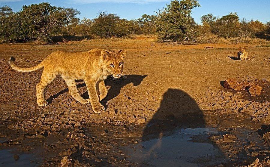 AXAA-Benny-Rebel-Fotoreise-Suedafrika-Loewe