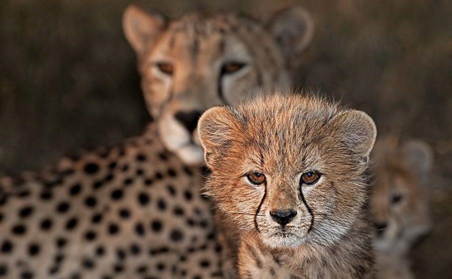 AZ-Benny-Rebel-Fotoreise-Suedafrika-Gepard