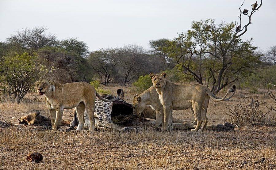 BA-Benny-Rebel-Fotoreise-Suedafrika-Loewe