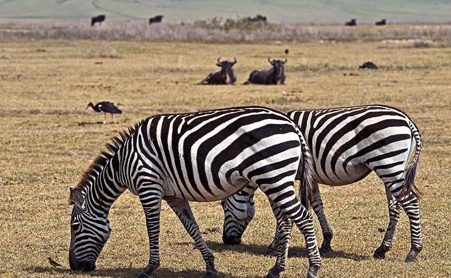 BA-Benny-Rebel-Fotoreise-Tansania-Zebra