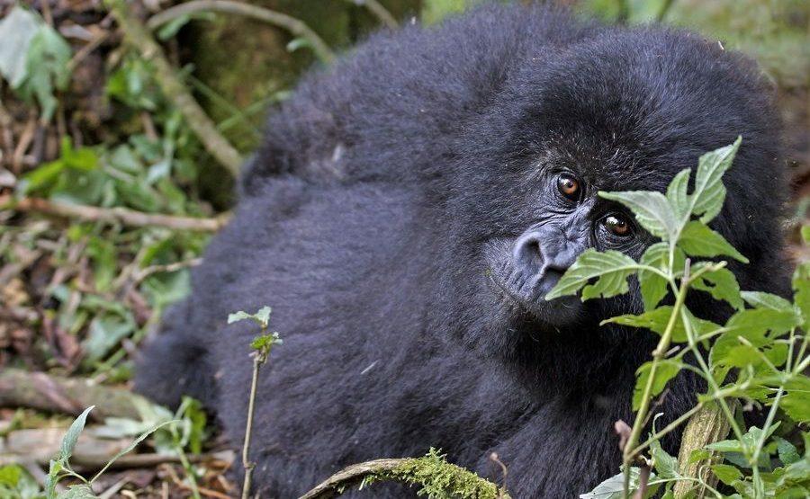 BAA-Benny-Rebel-Fotoreise-Berg-GorillaRuanda