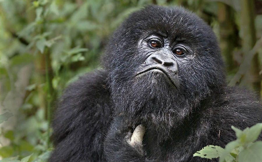 BAC-Benny-Rebel-Fotoreise-Berg-GorillaRuanda