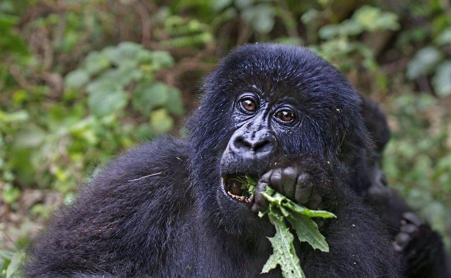 BAD-Benny-Rebel-Fotoreise-Berg-GorillaRuanda