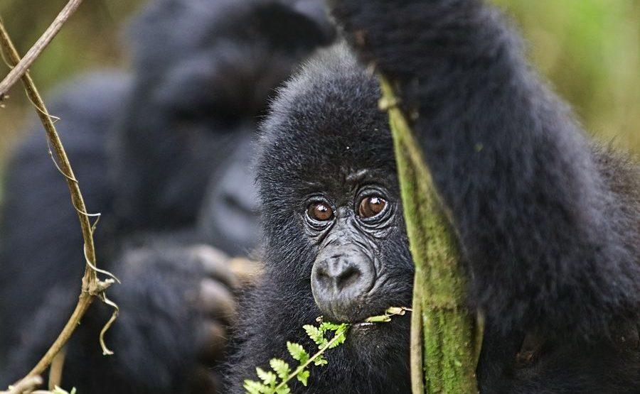 BAE-Benny-Rebel-Fotoreise-Berg-GorillaRuanda
