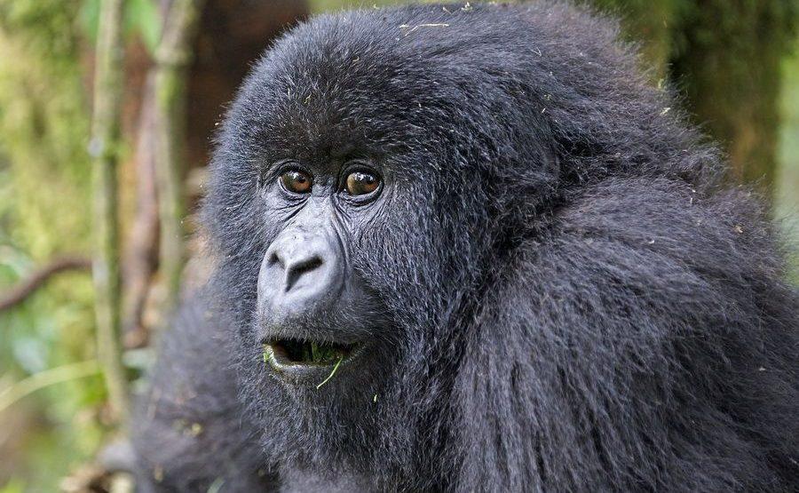 BAF-Benny-Rebel-Fotoreise-Berg-GorillaRuanda