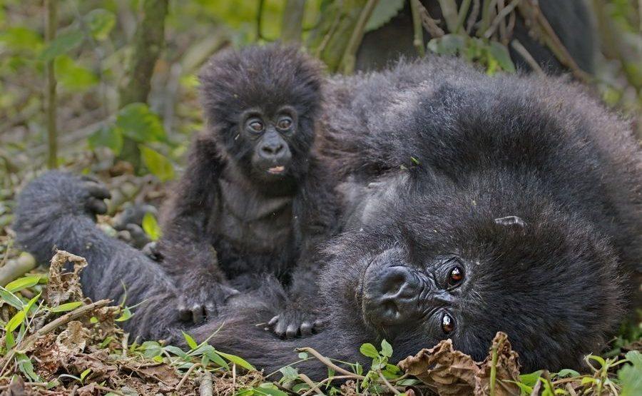 BAH-Benny-Rebel-Fotoreise-Berg-GorillaRuanda