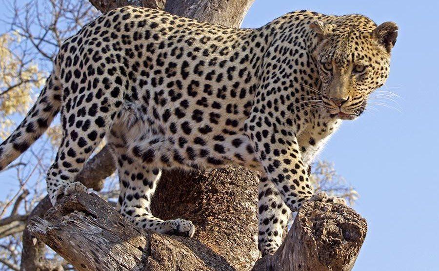 BAQ-Benny-Rebel-Fotoreise-Suedafrika-Leopard-202