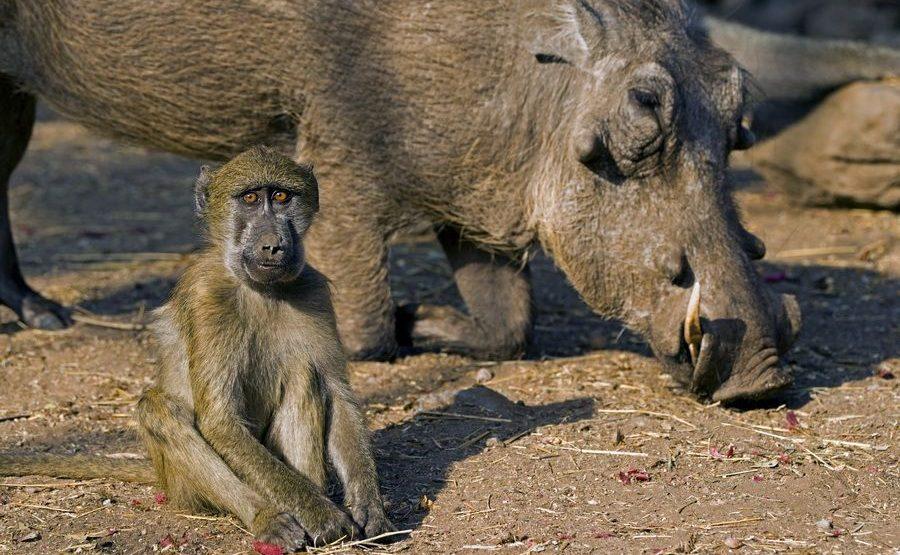 BB-Benny-Rebel-Fotoreise-Suedafrika-Pavian