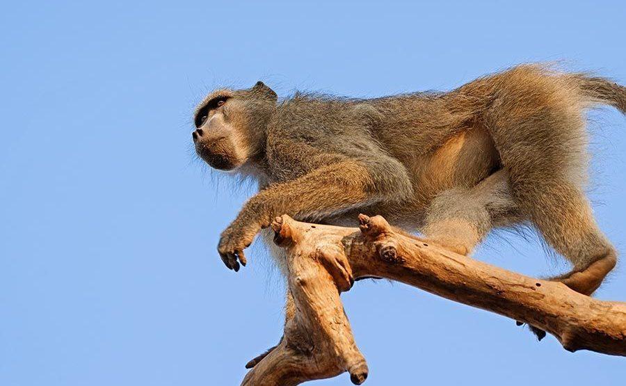 BBAB-Benny-Rebel-Fotoreise-Suedafrika-Pavian