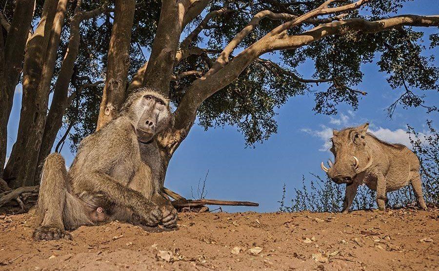 BBACA-Benny-Rebel-Fotoreise-Suedafrika-Pavian