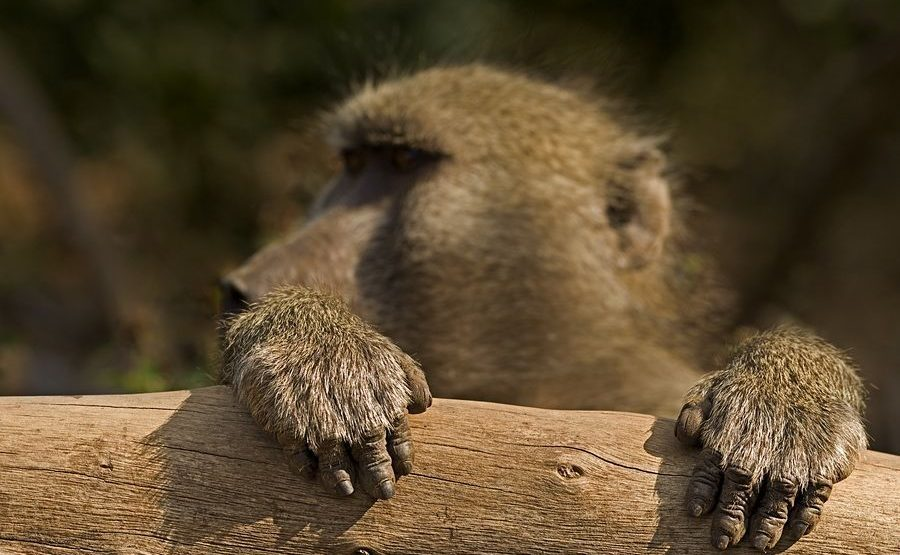 BBACD-Benny-Rebel-Fotoreise-Suedafrika-Pavian