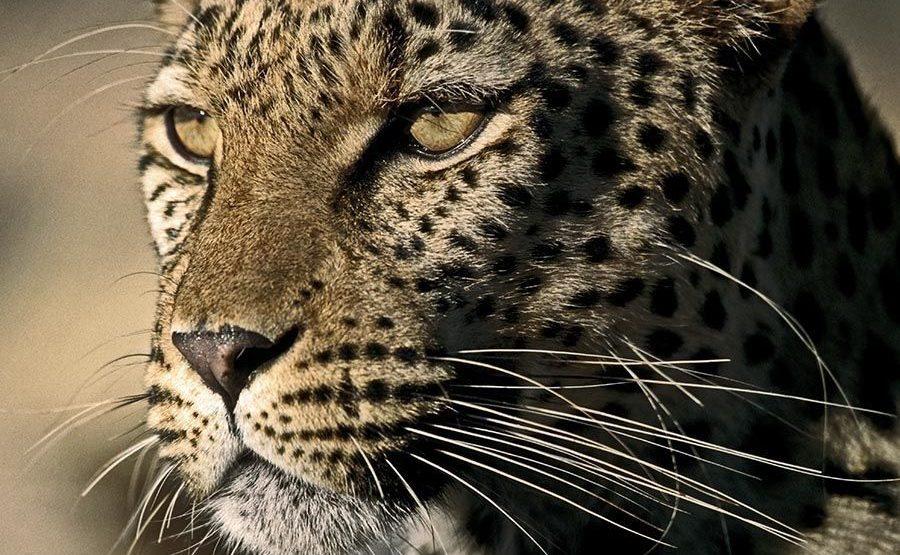 BC-Benny-Rebel-Fotoreise-Namibia-Leopard