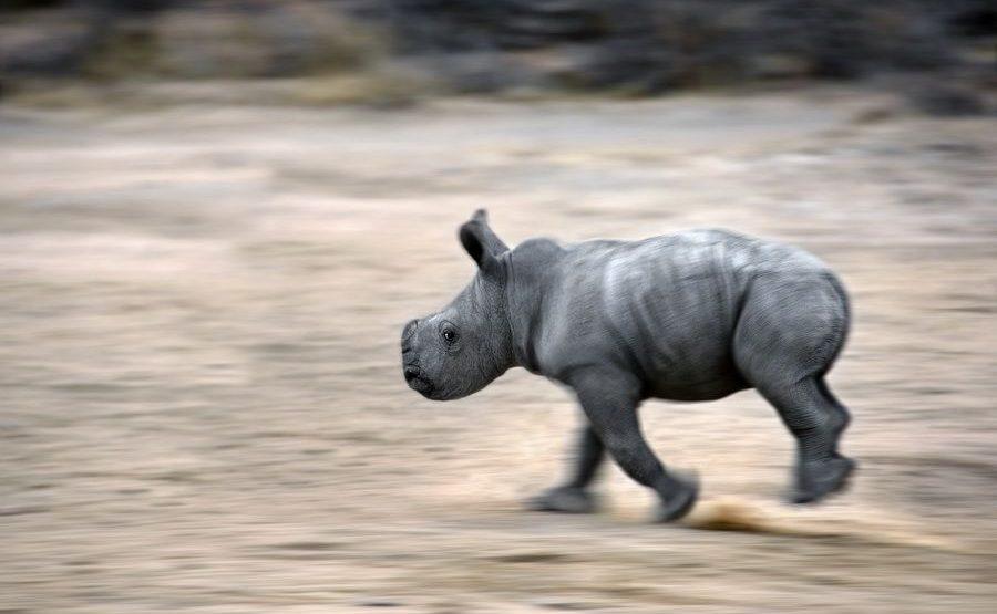 BC-Benny-Rebel-Fotoreise-Suedafrika-Breitmaul-Nashorn
