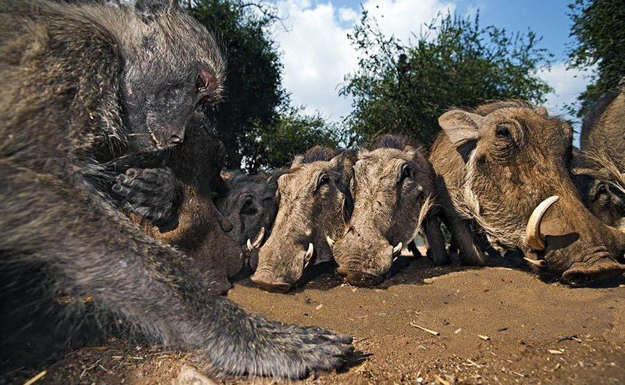 BC-Benny-Rebel-Fotoreise-Suedafrika-Pavian