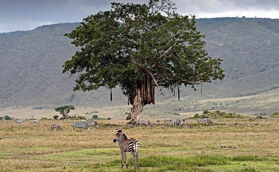 BC-Benny-Rebel-Fotoreise-Tansania-Zebra