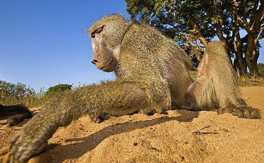 BD-Benny-Rebel-Fotoreise-Suedafrika-Pavian