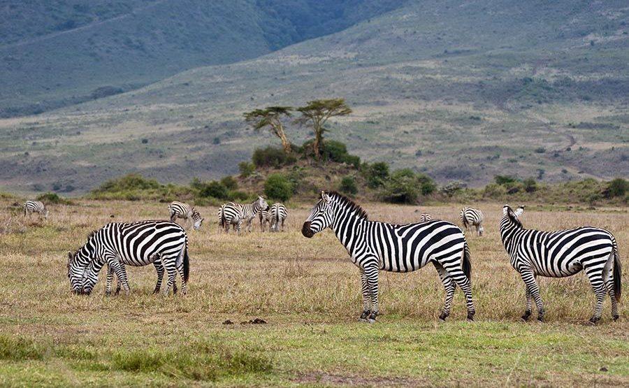 BD-Benny-Rebel-Fotoreise-Tansania-Zebra