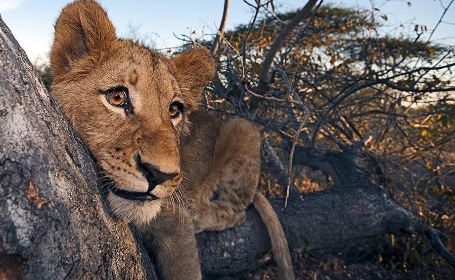 BDAA-Benny-Rebel-Fotoreise-Suedafrika-Loewe