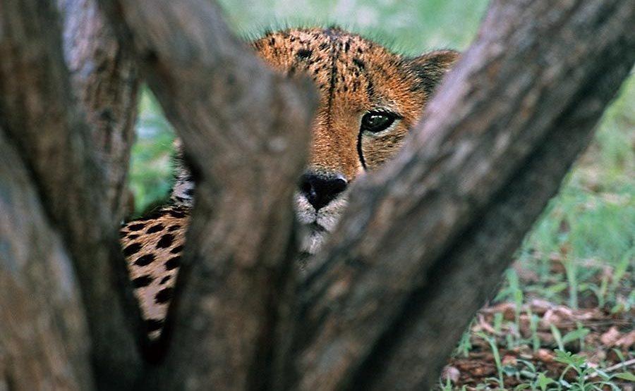 BE-Benny-Rebel-Fotoreise-Namibia-Gepard