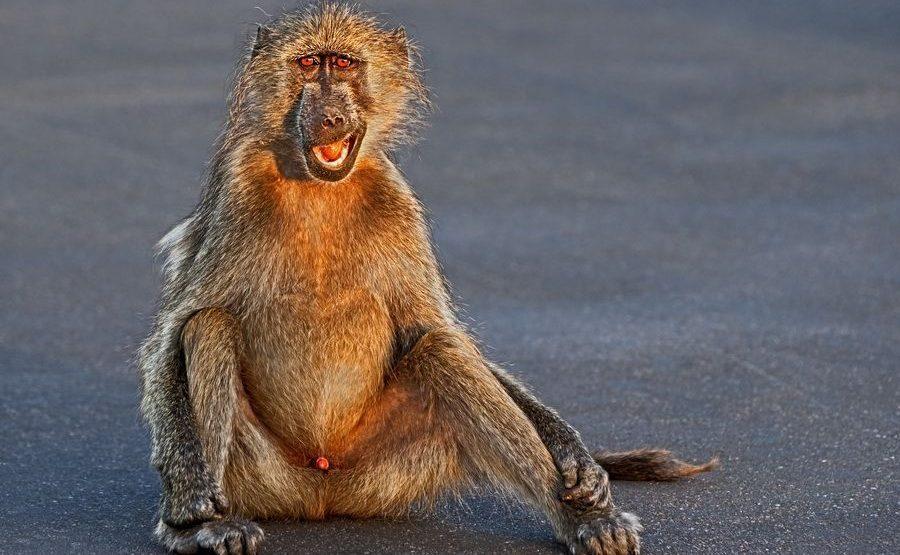 BE-Benny-Rebel-Fotoreise-Suedafrika-Pavian