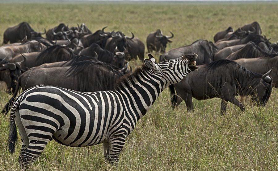 BE-Benny-Rebel-Fotoreise-Tansania-Zebra