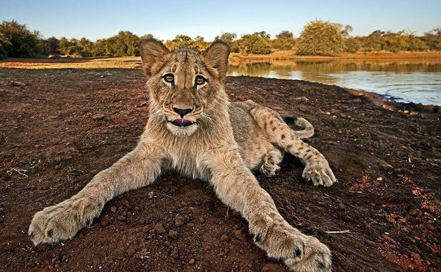 BEAA-Benny-Rebel-Fotoreise-Suedafrika-Loewe
