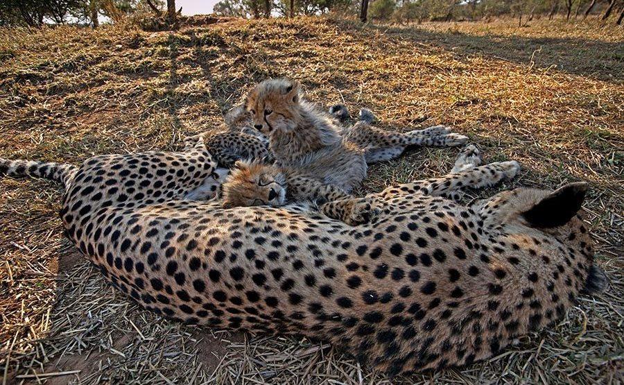 BEB-Benny-Rebel-Fotoreise-Suedafrika-Gepard