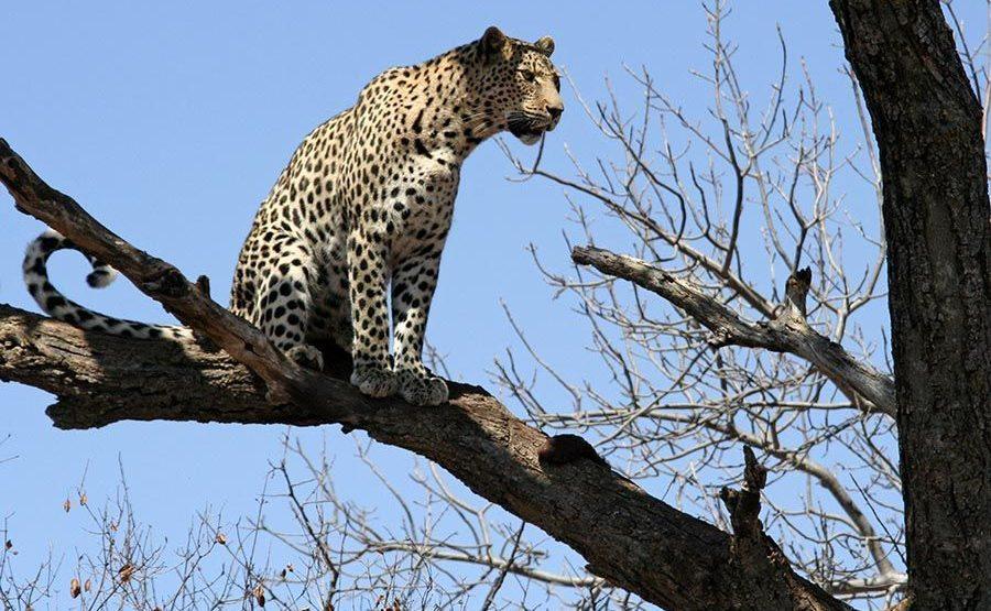 BF-Benny-Rebel-Fotoreise-Afrika-Leopard