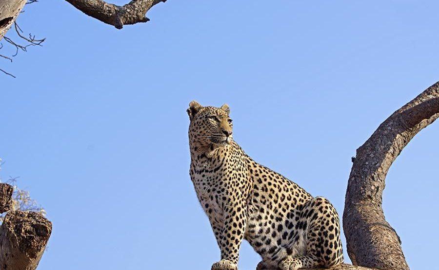 BG-Benny-Rebel-Fotoreise-Afrika-Leopard
