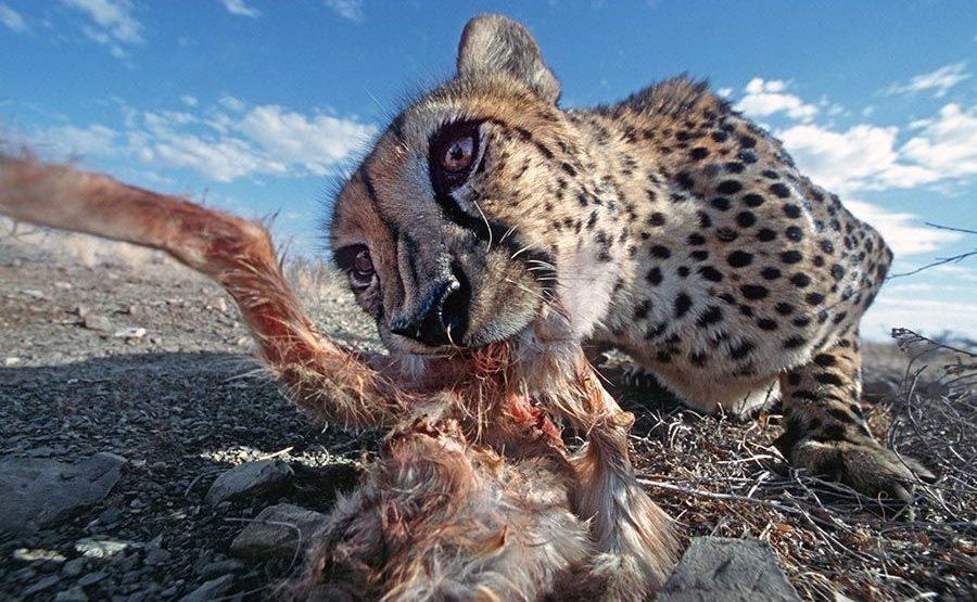 BG-Benny-Rebel-Fotoreise-Namibia-Gepard