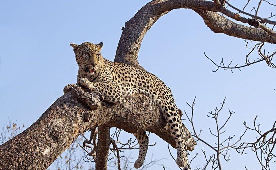 BH-Benny-Rebel-Fotoreise-Afrika-Leopard