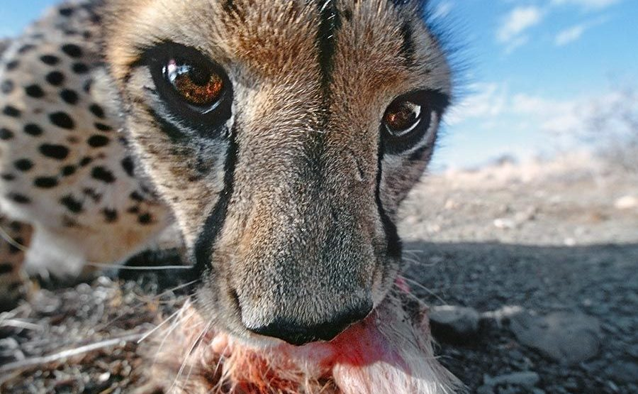 BH-Benny-Rebel-Fotoreise-Namibia-Gepard