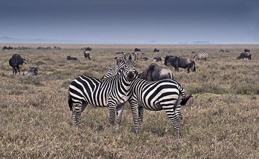 BH-Benny-Rebel-Fotoreise-Tansania-Zebra