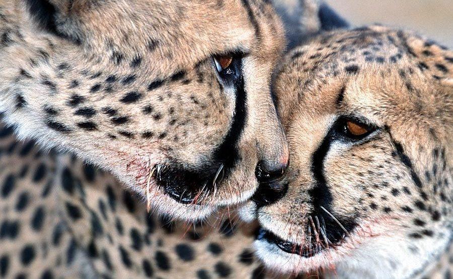 BIA-Benny-Rebel-Fotoreise-Namibia-Gepard