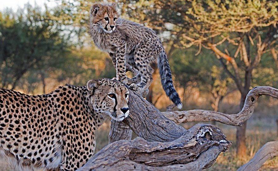 BJ-Benny-Rebel-Fotoreise-Suedafrika-Gepard