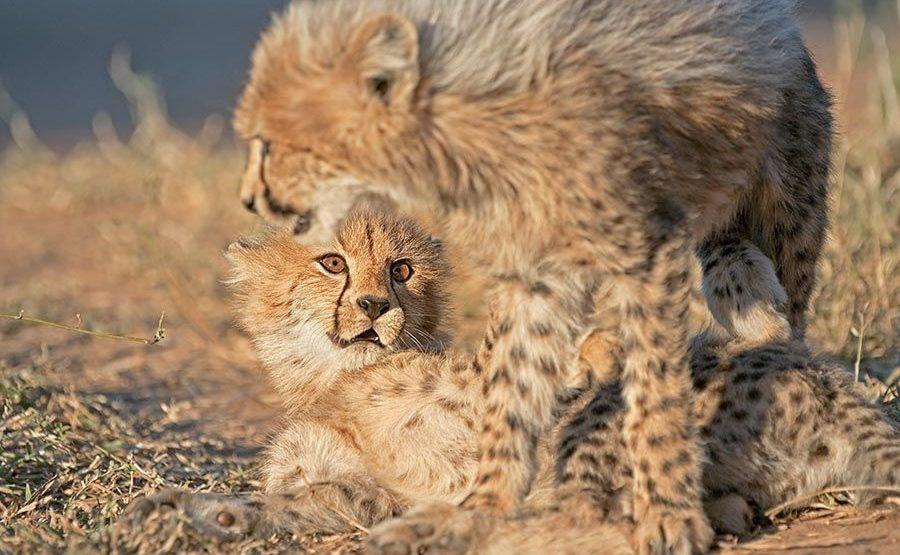 BS-Benny-Rebel-Fotoreise-Suedafrika-Gepard