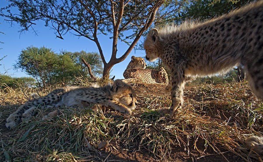 BZ-Benny-Rebel-Fotoreise-Suedafrika-Gepard