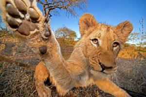 Afrika; Africa; Afrikanischer Loewe; African lion; Panthera leo; Krueger Nationalpark; Kruger National Park; Suedafrika; South Africa