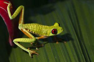 CA-Benny-Rebel-Fotoreise-Frosch-Costa-Rica
