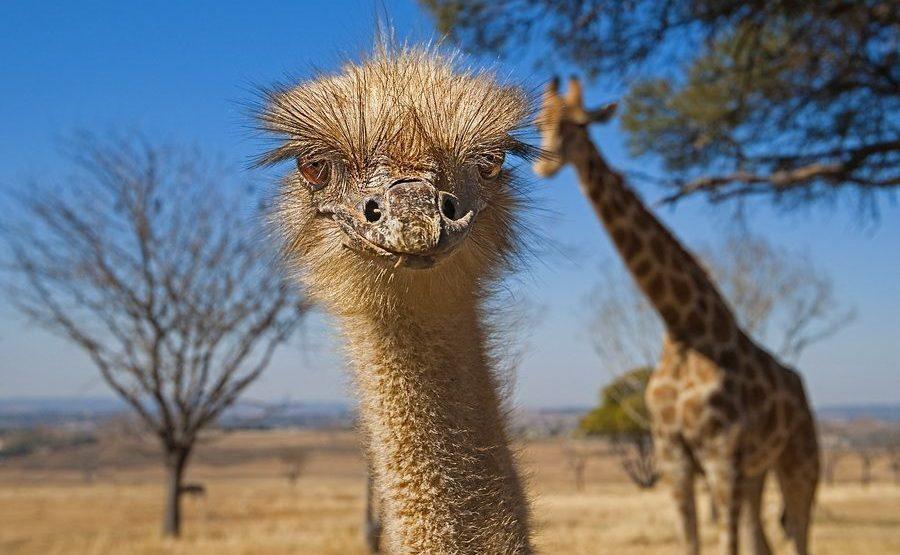 CA-Benny-Rebel-Fotoreise-Suedafrika-Strauss