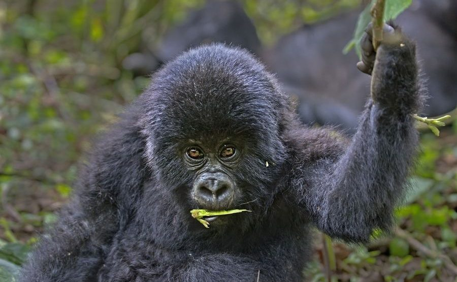 CAB-Benny-Rebel-Fotoreise-Berg-GorillaRuanda