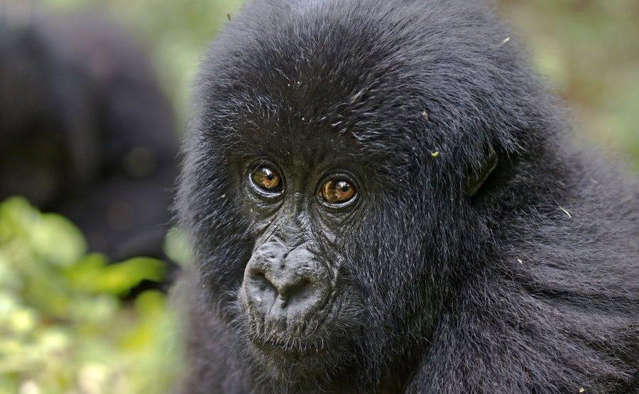 CAC-Benny-Rebel-Fotoreise-Berg-GorillaRuanda