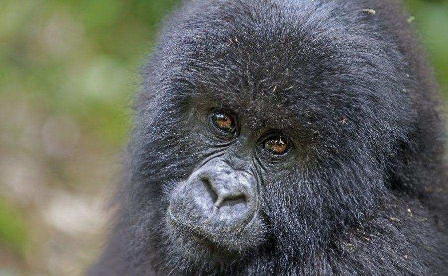 CAE-Benny-Rebel-Fotoreise-Berg-GorillaRuanda