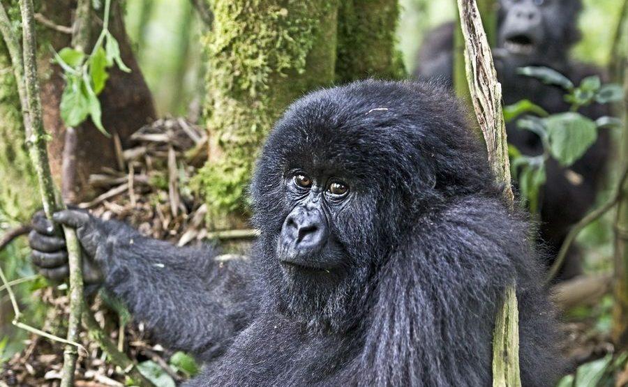 CAH-Benny-Rebel-Fotoreise-Berg-GorillaRuanda